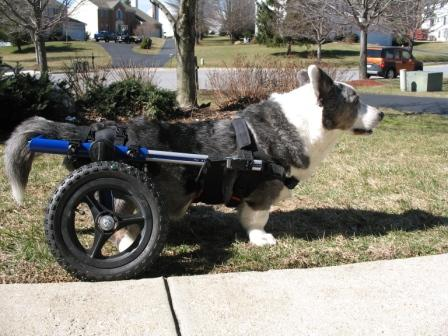 Corgi Walkin Wheels Dog Wheelchair