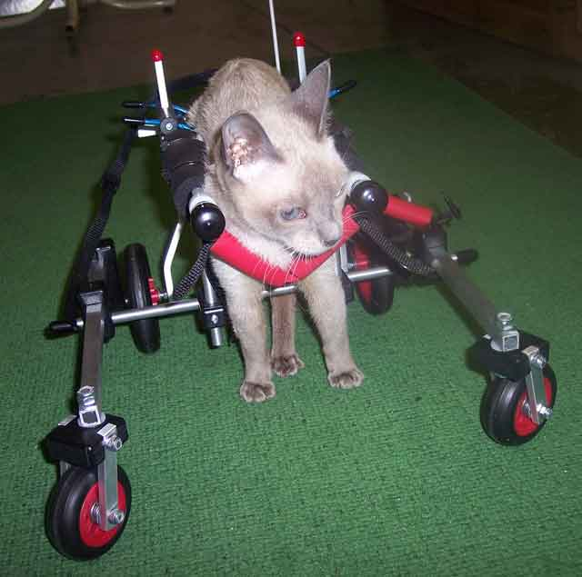 Front view cat wheelchair