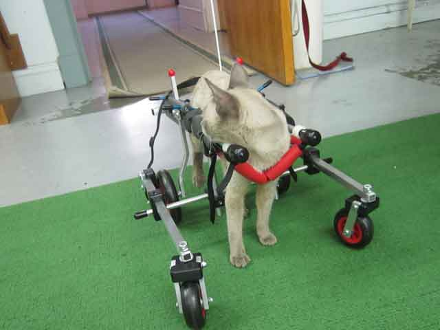 Cat in quad wheelchair