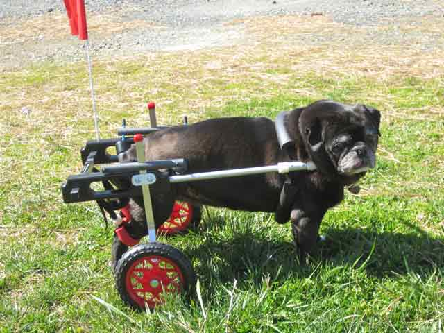 Circus Pug wheelchair
