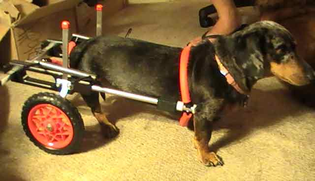Dachshund Wheelchair Adjustments
