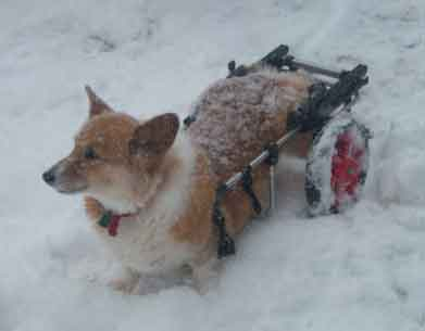 corgi snow picture