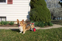 dog wheelchair for corgi