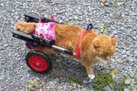 Cat in pet wheelchair
