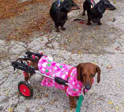 Dachshund in Dog Wheelchair