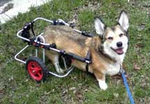 Corgi with DM in K9 Cart
